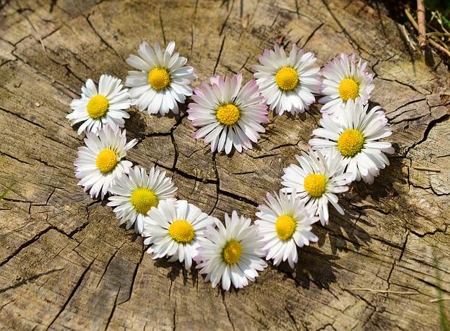srdce, kvety, sedmokráska.jpg