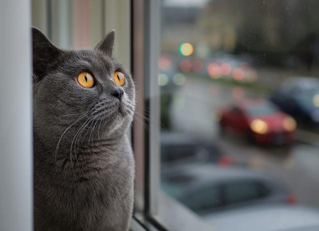 Sivá mačka sedí pri okne.jpg