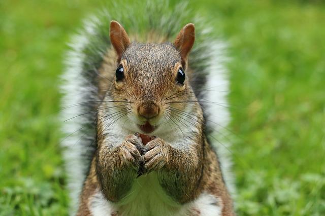 Veverička na zelenej tráve.jpg