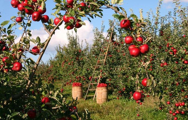 jablone, sad, jablká.jpg
