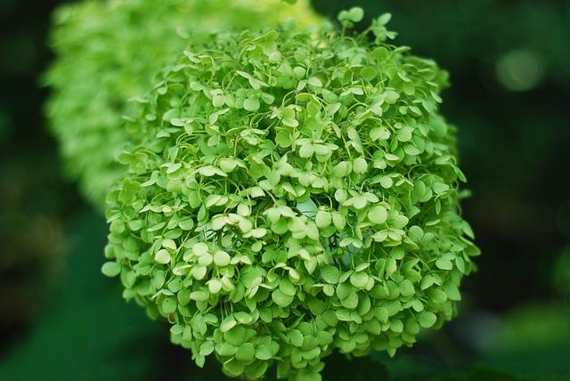 Zelená hortenzia.jpg