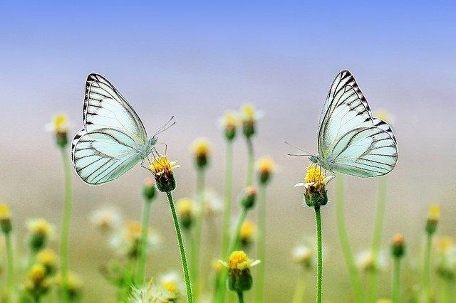 dva motýli.jpg