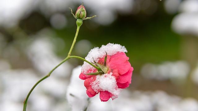 Kvety v zime.jpg